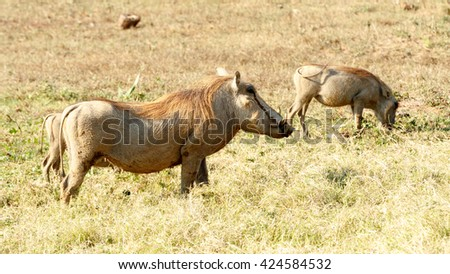 Chill - Phacochoerus africanus - The common warthog is a wild member of the pig family found in grassland, savanna, and woodland in sub-Saharan Africa. - stock photo