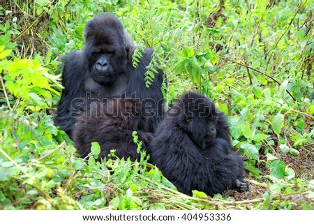 Chilling mountain gorilla in the Volcanoes National Park of Rwanda, Central Africa