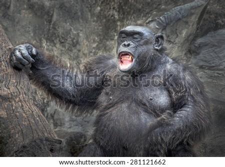 Chimpanzee - stock photo