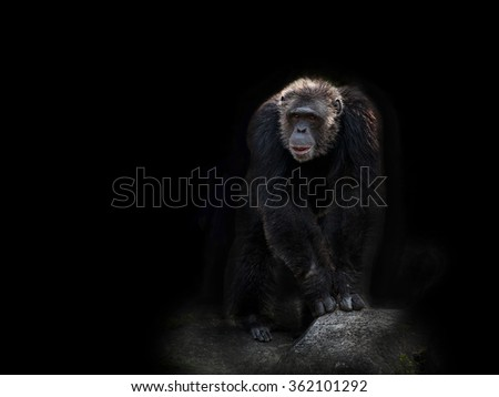 Chimpanzee.  - stock photo
