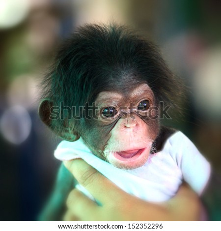 Chimpanzee baby  - stock photo