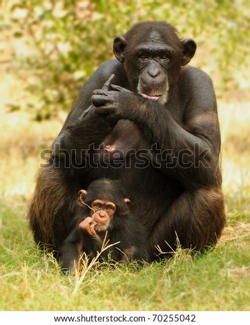 Chimpanzee baby with mother posing for a photo - stock photo
