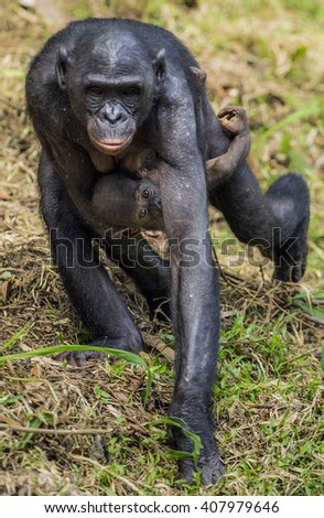 Chimpanzee Bonobo mother with child s at a short distance, close up. The Bonobo ( Pan paniscus), called the pygmy chimpanzee. Democratic Republic of Congo. Africa