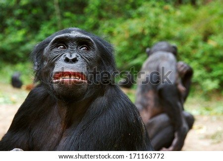 Chimpanzee bonobo ( Pan paniscus)  portrait. At a short distance, close up. The bonobo ( Pan paniscus) - stock photo