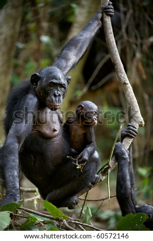 Chimpanzee Bonobo with a cub. Chimpanzee B?nobo with a cub hangs on a tree branch. - stock photo