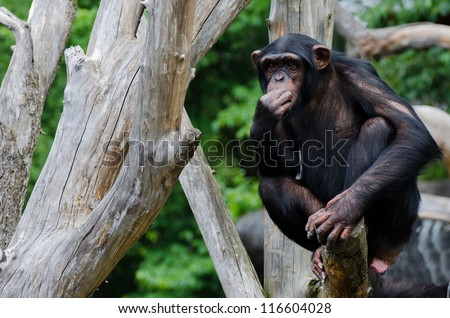 Chimpanzee chewing grass up in an old dead tree