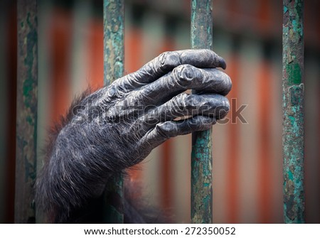 Chimpanzee hand - stock photo