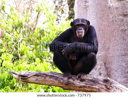 Chimpanzee in Guinea West Africa - stock photo