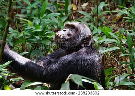 Chimpanzee looking upwards in Kibale Forest National Park, Uganda - stock photo