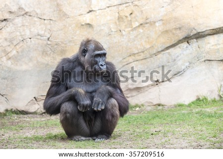 Chimpanzee monkey.  - stock photo