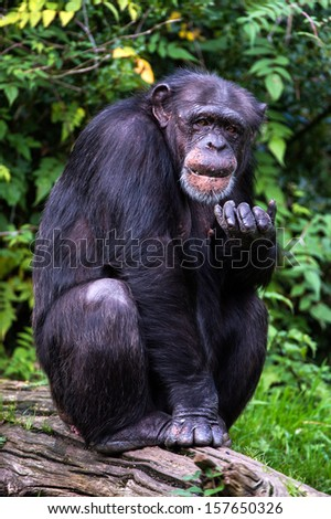 Chimpanzee sat on large log in front of green foliage/Chimpanzee/Chimpanzee - stock photo