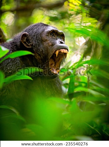 Chimpanzee screaming in the African Rain forest. Wild animal and endangered species in need of nature conservation. Great ape portrait. Chimp in natural wilderness - stock photo