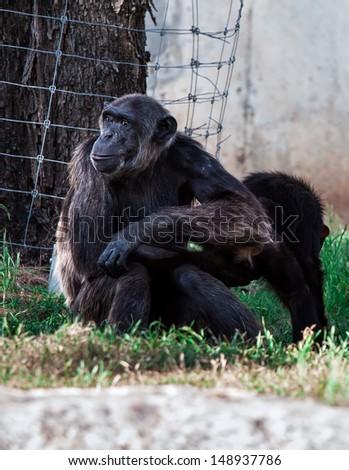 Chimpanzee sit on the grass - stock photo