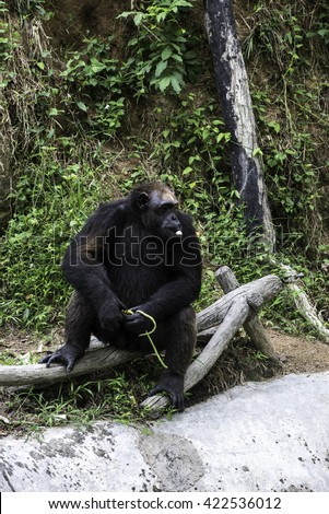 chimpanzee sitting and relax in the zoo,thailand - stock photo