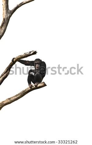 Chimpanzee sitting on a tree - stock photo