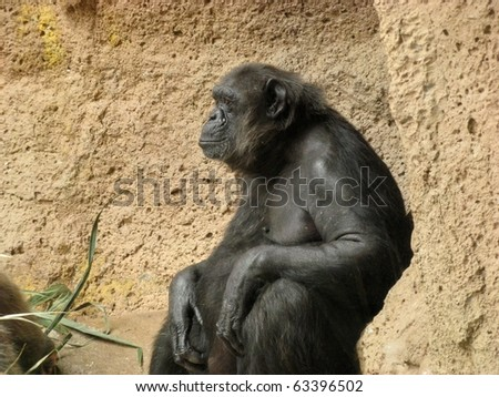 Chimpanzee sitting with his back against a rock - stock photo