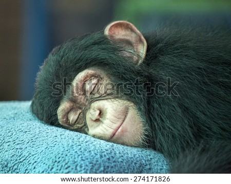Chimpanzee sleeping - stock photo