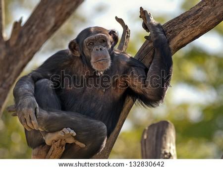 chimpanzee spending the afternoon in a tree - stock photo