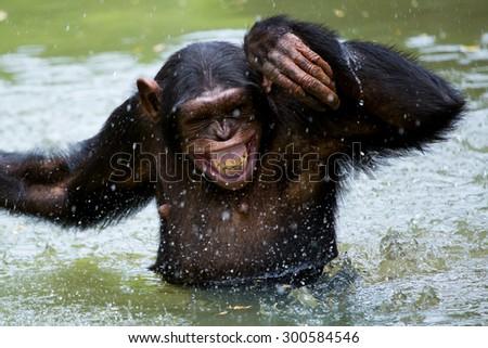 chimpanzee swimming - stock photo