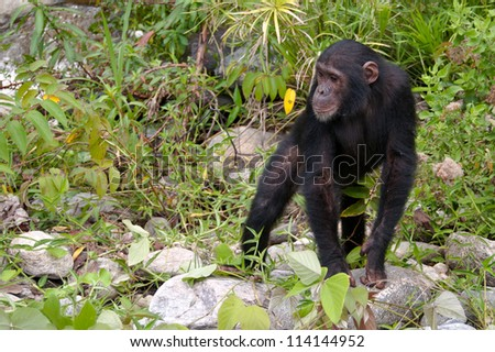 Chimpanzee waiting for the rest to catch up, Mahale National Park, Tanzania. - stock photo