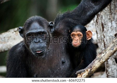 Chimpanzee with a cub on mangrove branches. Mother-chimpanzee sits and holds on hands of the kid. - stock photo