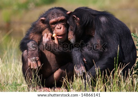 Chimpanzees eating a carrot sitting close together
