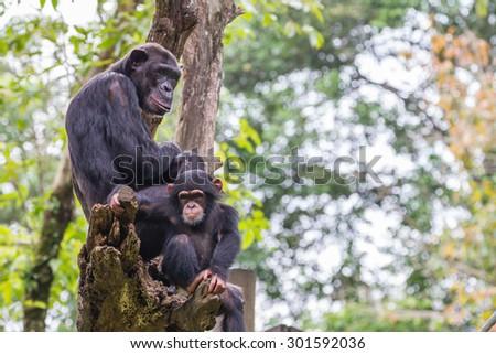 chimpanzees group on tree - stock photo