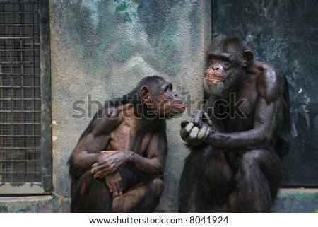 chimpanzees in discussion - stock photo