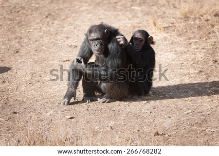 Chimpanzees in the last freedom? - stock photo