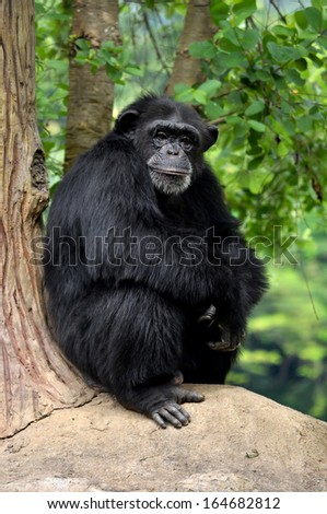 Chimpanzees, sometimes colloquially chimp, are two extant hominid species of apes - stock photo