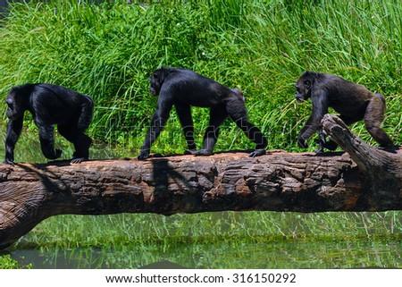 Chimpanzees walk on timber. - stock photo