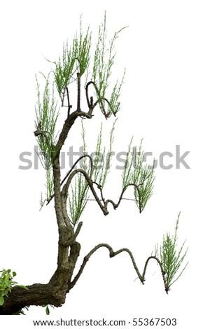 china bonsai - stock photo