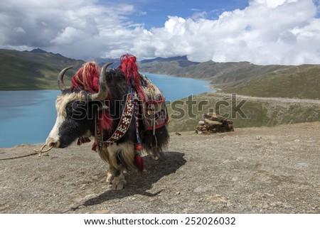China Tibetan yak lakes - stock photo