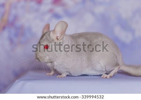 chinchilla - stock photo