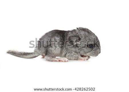 Chinchilla baby isolated over white background - stock photo