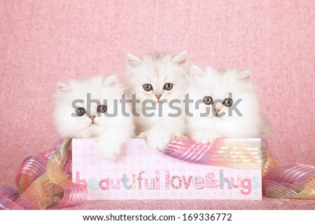 Chinchilla kittens sitting inside pink gift box container with ribbon against pink background - stock photo