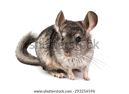 Chinchilla on a white background - stock photo