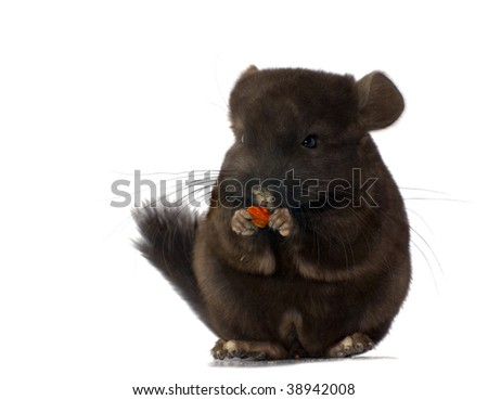 chinchilla standing and holding food isolated on white - stock photo