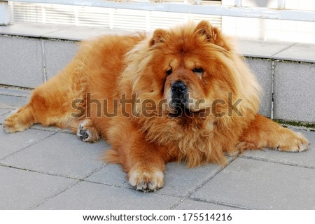 Chines chow chow dog live in the european city. - stock photo
