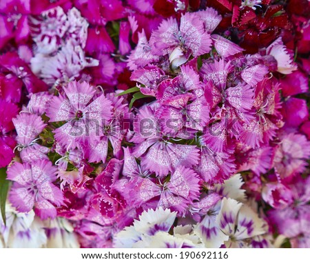 Chines small carnation flowers bouquet closeup - stock photo