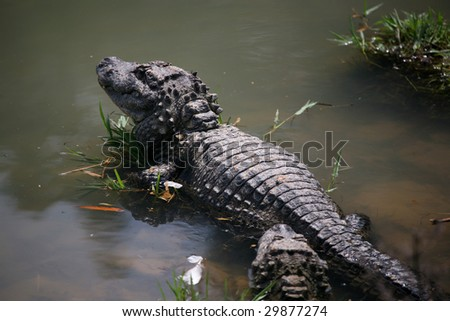 Chinese Alligator , an endangered animal. - stock photo