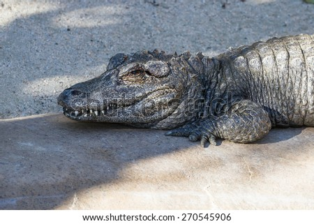 Chinese alligator resting on a concrete pad at a zoo in California