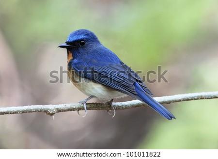 Chinese Blue Flycatcher (Cyornis glaucicomans) - stock photo