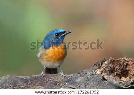 Chinese Blue Flycatcher (Cyornis glaucicomans) stands on the old wood.