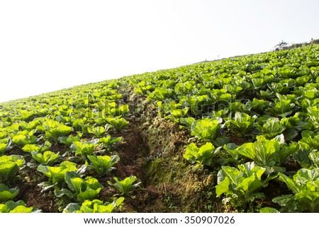 Chinese Cabbage fields - stock photo