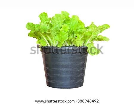 Chinese cabbage on the white background