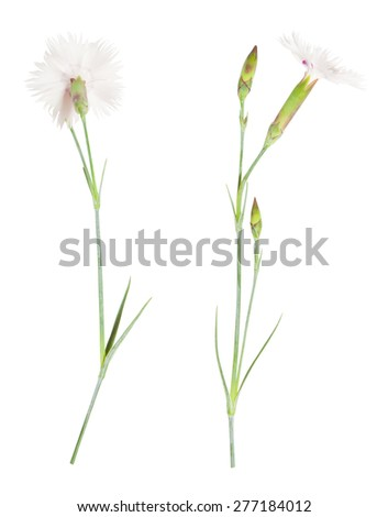 Chinese carnation flower isolated on white - stock photo