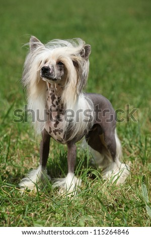 Chinese Crested Dog - stock photo