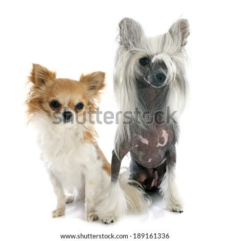 chinese crested dog and chihuahua in front of white background
