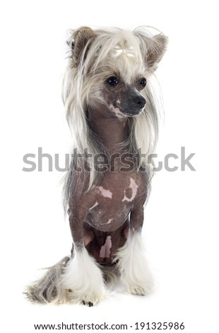 Chinese Crested Dog in front of white background